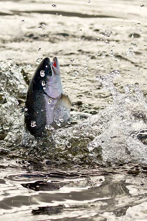 fish-leaping-from-water
